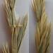 Small photo of Elymus triticoides and Agropyron smithii