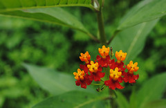 nectar(0.0), annual plant(1.0), tropical milkweed(1.0), shrub(1.0), flower(1.0), plant(1.0), macro photography(1.0), herb(1.0), wildflower(1.0), flora(1.0), lantana camara(1.0),