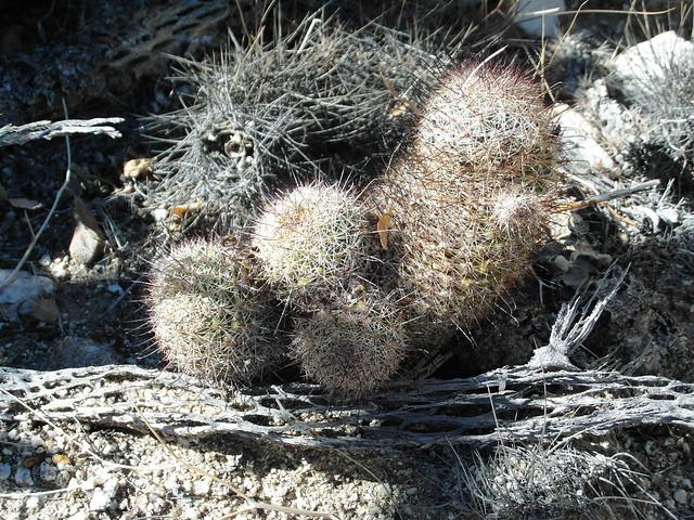 Mammillaria dioica in the desert 10466210306_06800c6734_z