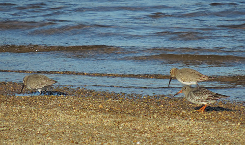 Purple Sandpiper with Dunlin
