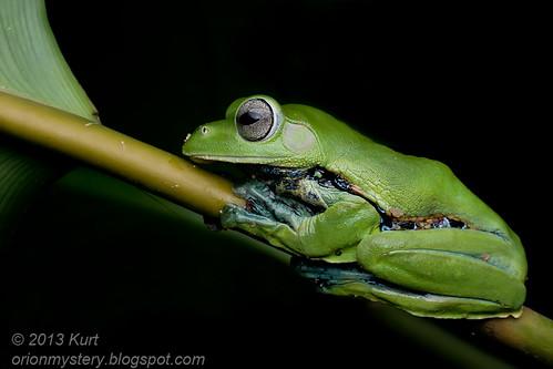 Norhayati's Flying Frog - Rhacophorus norhayatii IMG_2596 copy