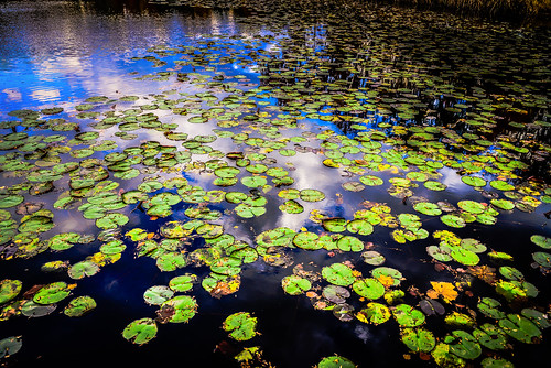park county blue usa lake color colour green fall water colors leaves yellow landscape virginia us leaf pond day colours lily unitedstates pad lilies american va fairfax northern parc centreville chantilly pads nymphaeaceae nuphar walney lutea ilobsterit