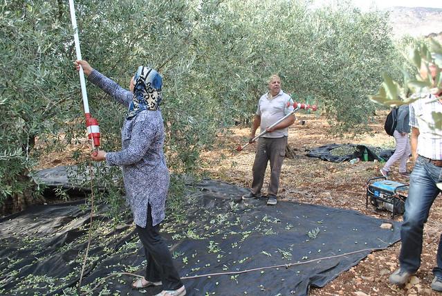 image olive harvest galilee