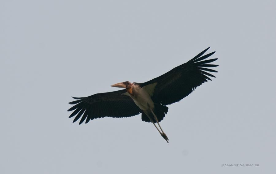 Lesser-Adjuant-Stork-Dipor-Beel
