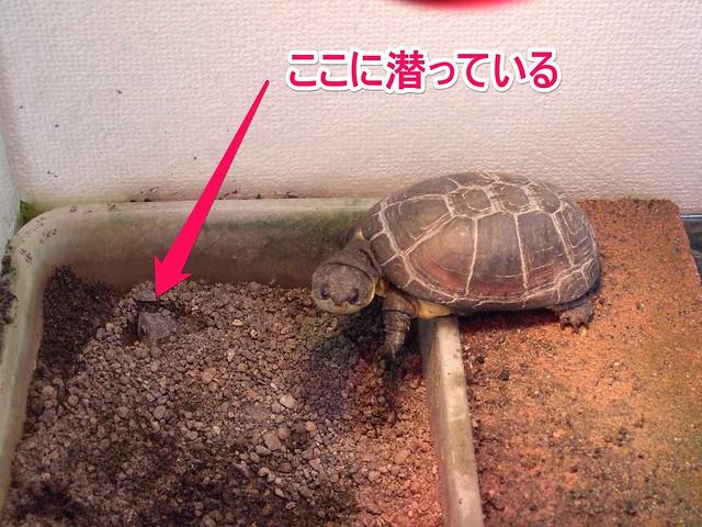 2013/11/24 ヒメハコヨコクビガメ 砂に潜って顔だけ出して様子見中の「みかん(WC メス)」1