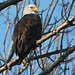 Bald Eagle by frank1556