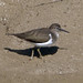 Small photo of Common Sandpiper. Actitis hypoleucos.