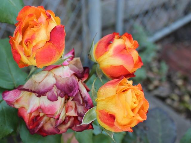 Fire Orange Roses 12/14/2013