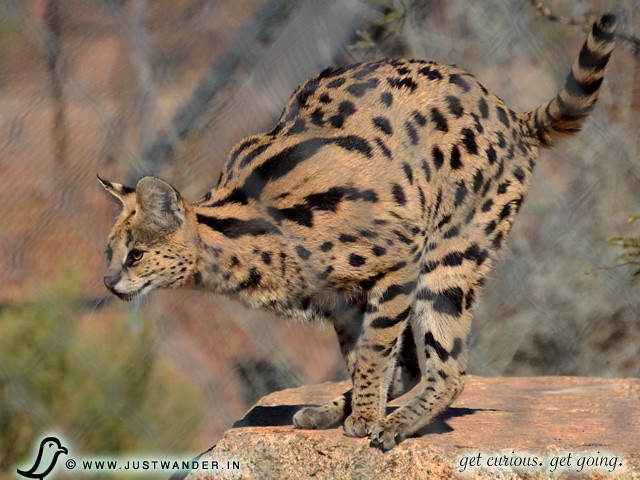 PIC: Out of Africa - Serval