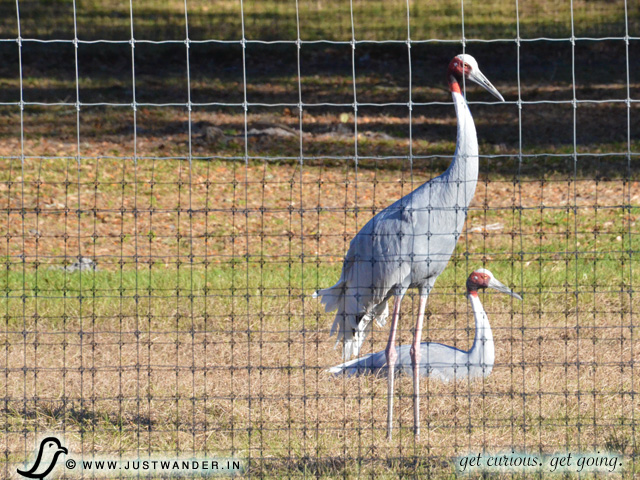 PIC: Florida sandhill cranes at Giraffe Ranch