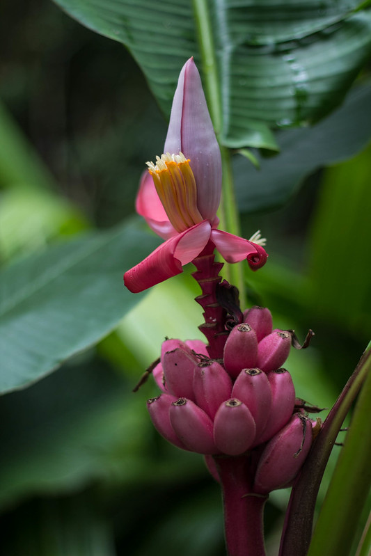 Red bananas and flower