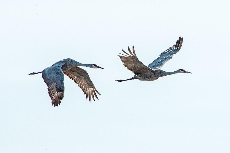 Sandhill Cranes - Ewing Bottoms - February 22, 2014