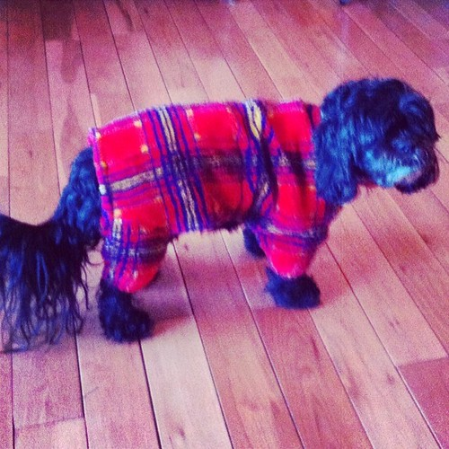 my Grandma's dog in a onsie. Day 43 #100happydays