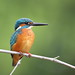 Common Kingfisher by myrontay
