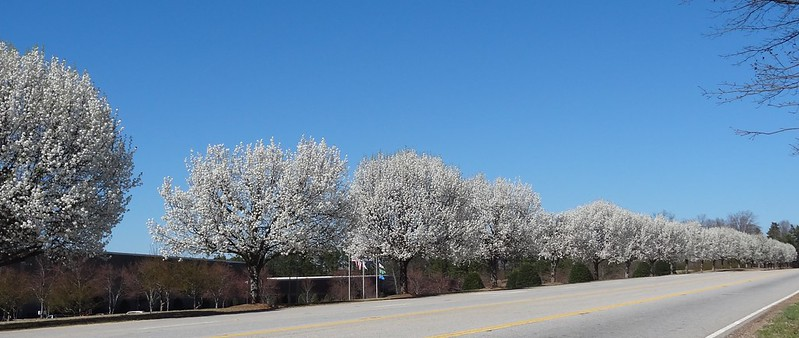 Bradford pears, Glen Raven plant, Anderson County, South Carolina