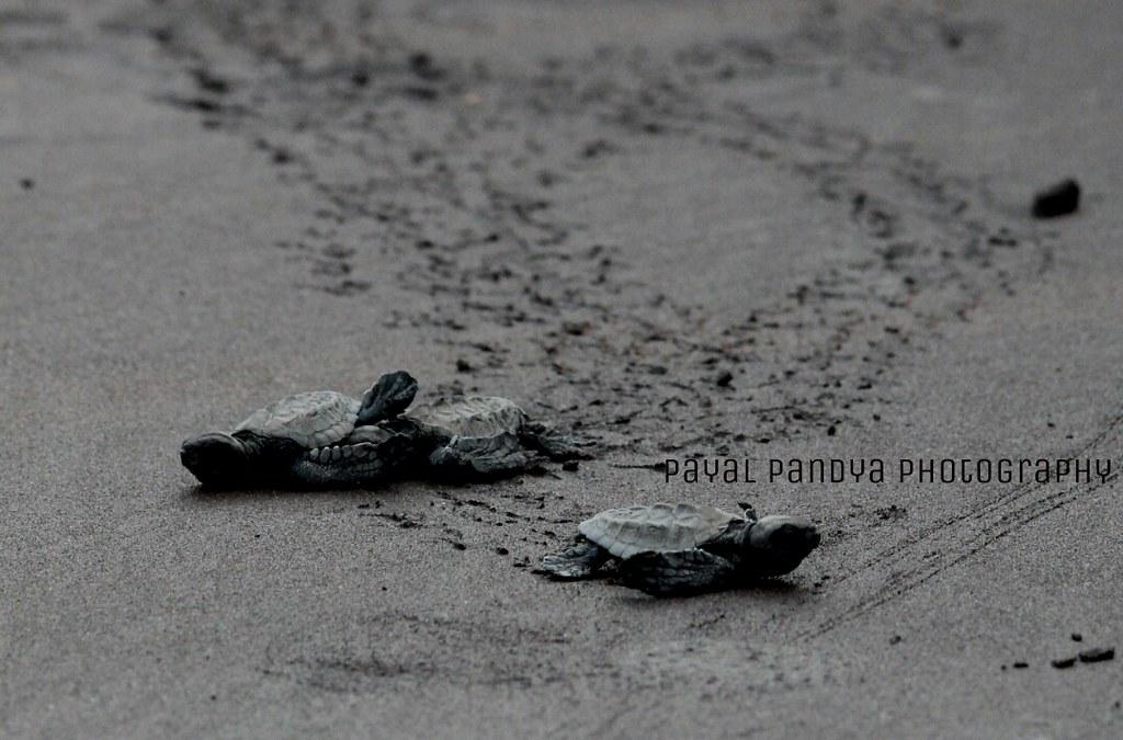 Velas turtle festival :)