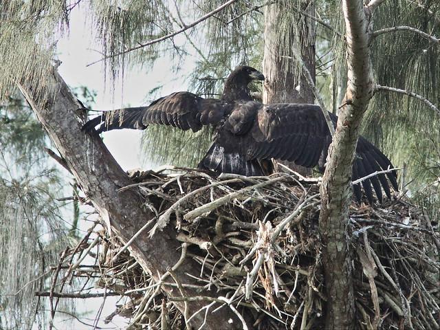 Bald Eaglet Glory alone on nest 20140404