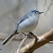 Blue-gray Gnatcatcher 8 Apr 14 1 by VMI Biology Department