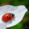 COCCINELLES02 by daumy
