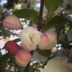 #whitagram #fleurs #pommier #japonais #printemps