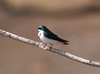 Tree Swallow by Desmojosh