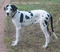 american bulldog(0.0), dalmatian(0.0), gull terr(0.0), great dane(1.0), dog breed(1.0), animal(1.0), dog(1.0), pet(1.0), guard dog(1.0), braque d'auvergne(1.0), carnivoran(1.0),