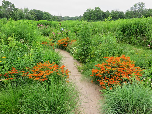 Butterfly weed at Lippold Park 20150702