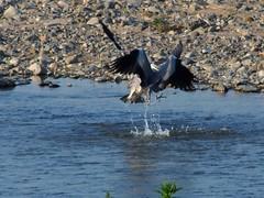 Two grey herons (アオサギ) fighting