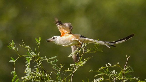 Scissor-tailed Flycatcher - 2