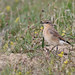 A87A2237 wheatear by steve.ray50