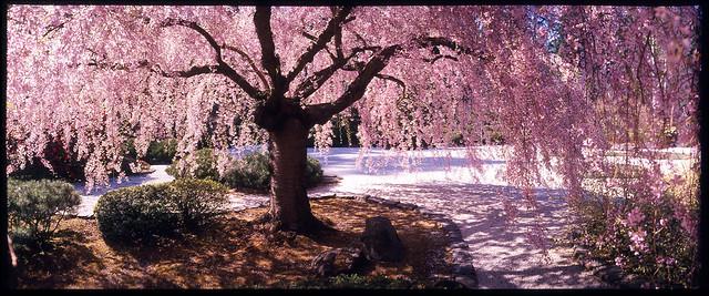 Cherry Tree Japanese Garden