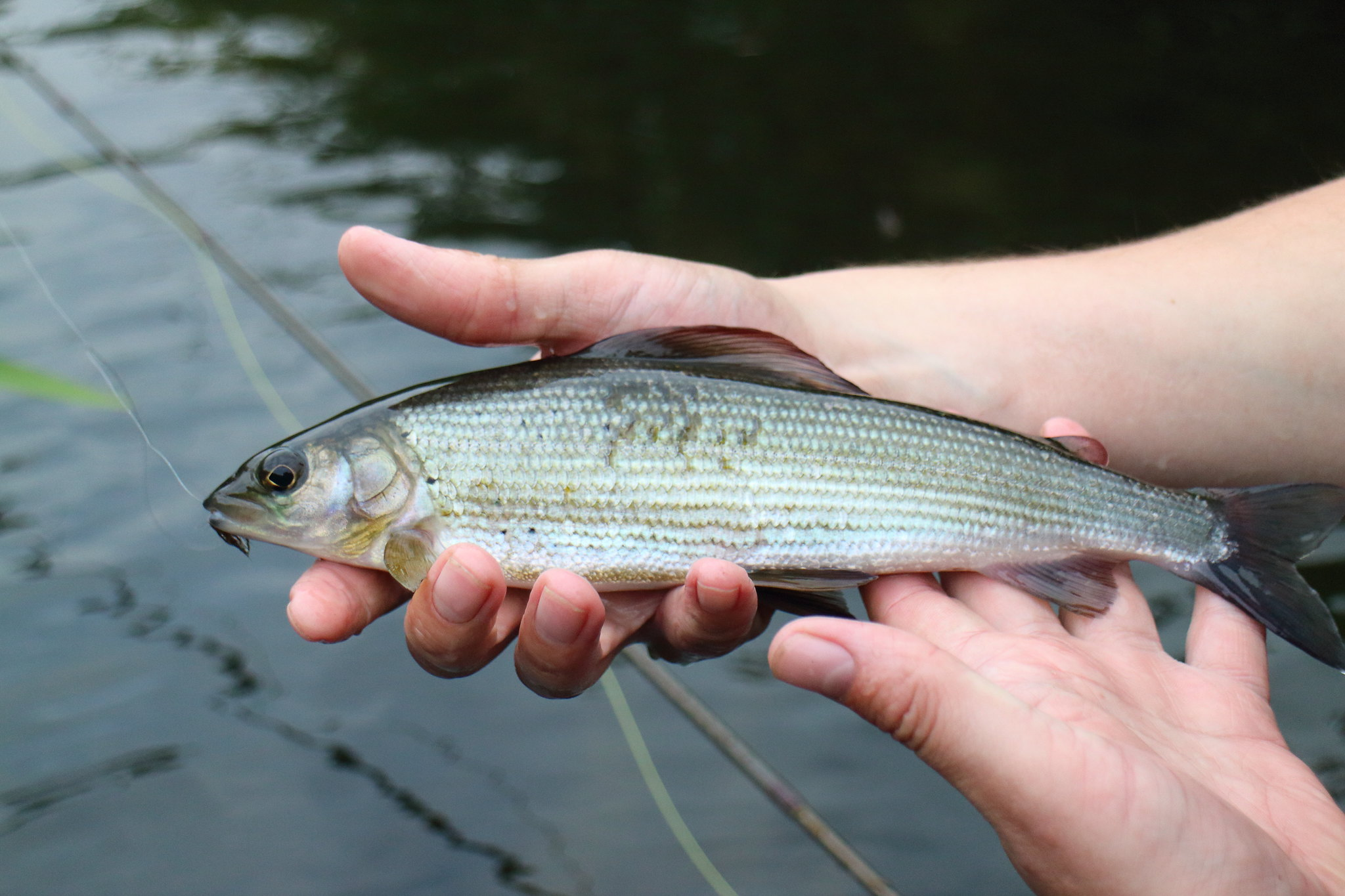 Dry Caddis Caught Grayling