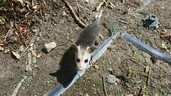 Baby Opossum - Anaheim, CA 3-24-17