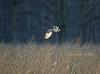 Surveiling The Field - Short-eared Owl