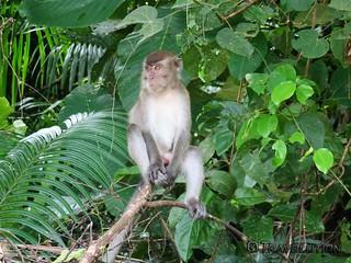 Monkey, Gundung Gading National Park, Sarawak