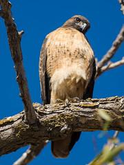 Hawk at Sacramento NWR