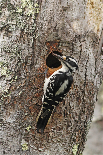 Hairy Woodpecker
