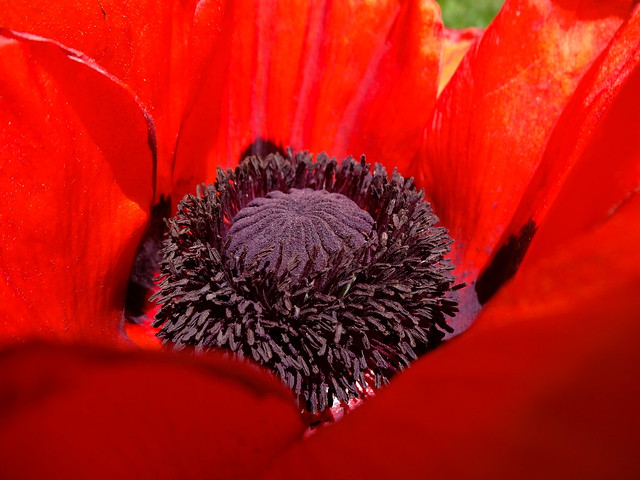 poppy anthers