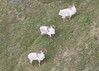 A ram group seen from the air in Gates of the Arctic National Park and Preserve by AlaskaNPS