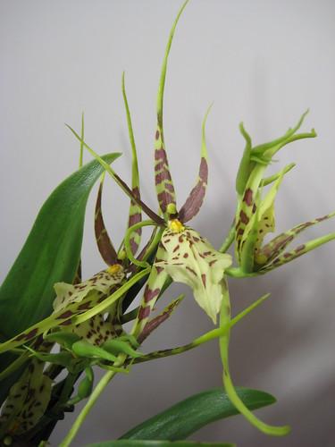 Orchideacea Cambria Brassia