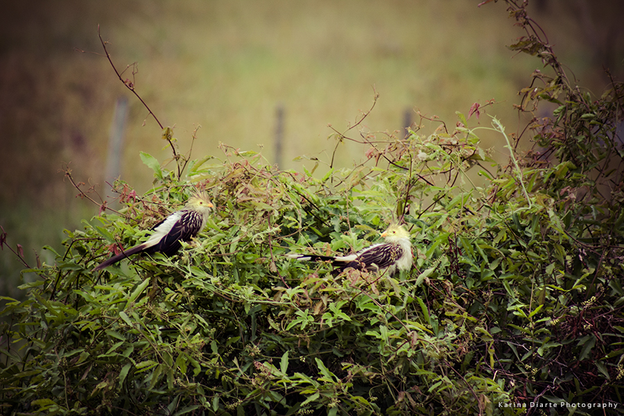 Piririta - Guira Cuckoo