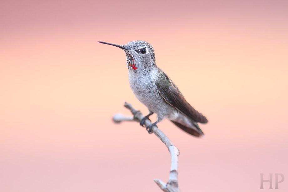 Allan's X Anna's Hybrid Hummingbird 082013