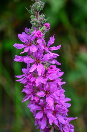 <p><i>Lythrum salicaria</i>, Lythraceae<br /> Burnaby Lake Park, Burnaby, British Columbia, Canada<br /> Nikon D5100, 18-55 mm f/3.5-5.6<br /> August 17, 2013</p>