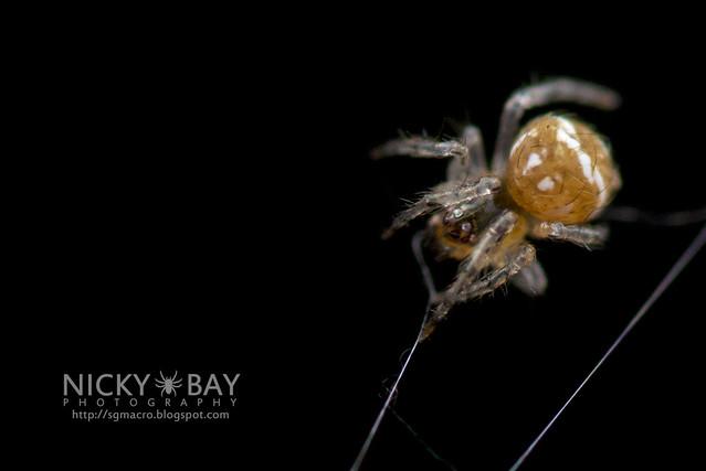 Minute Litter Spider (Mysmenidae) - DSC_3508