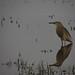Indian Pond Heron by bibekthecrony