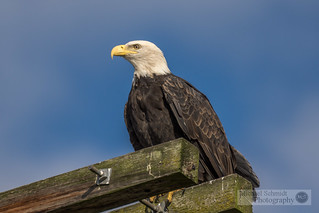 2013-10-12 Ladner Boundary Bay Bald Eagle-9