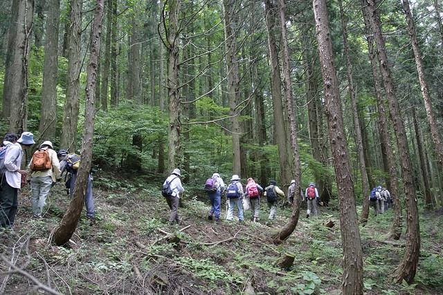 植林の中を進む.斜面上のスギ林と下部はヒノキ林で,林床が全く違っている.