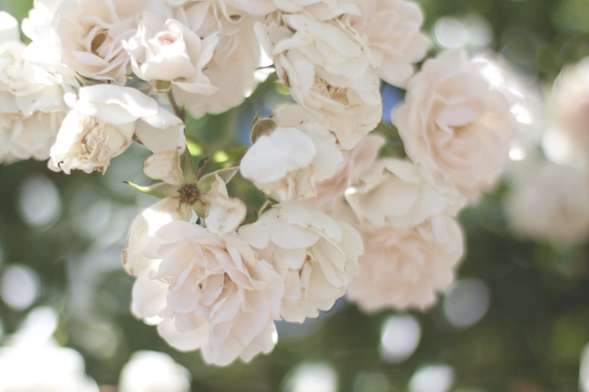 ruusujaa