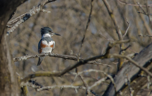 DSC_1408-AG - Belted Kingfisher - Hillsdale Lake - Hillsdale, Kansas