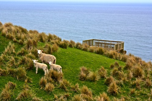 sheep are lining up at the lover's leap view point